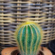 Cactus — Stock Photo #12171381