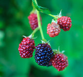 Delicioso blackberry — Foto de Stock