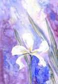 White iris — Stock Photo
