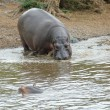 Hippo pool — Stock Photo