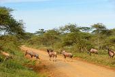 Antelopes Topi (Damaliscus korrigum) — Foto de Stock