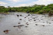 Hippo pool — Stock Photo