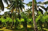 Tropical vanilla plantation — Stock Photo