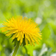 Beautiful dandelion flower — Lizenzfreies Foto
