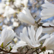 Beautiful magnolia blossom — Stock Photo #10794313