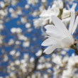Beautiful magnolia blossom — Stock Photo #10794326