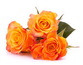 Three orange roses — Stock Photo