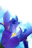 красивый голубой ирис цветы фон — Стоковое фото