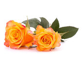 Two orange roses — Stock Photo