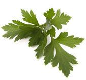 Sweet parsley leaves — Stock Photo