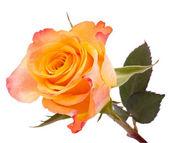Rosa laranja — Fotografia Stock