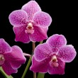 Flower of blooming  vanda orchid — Stock Photo