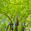 Linden trees - Stock Photo