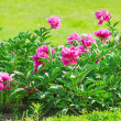 Peonies — Stock Photo #11464682