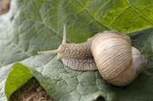 Close-up of burgundy snail — Stock Photo