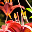 A close up of the flower of lily. Lilium pensylvanicum — Stock Photo