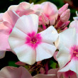 Phlox in garden — Stock Photo
