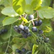 Aronia melanocarpa — Stock Photo