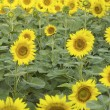A field of sunflowers — Stock Photo