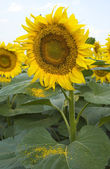 Big sunflower in the field and sky — Stock Photo