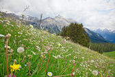 Alpine flowers — Stock Photo