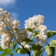 White lilac on the sky - Stock Photo