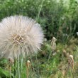 Big dandelion — Stock Photo #11130874