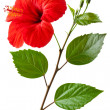 Flowering Hibiscus — Stock Photo #11945489