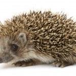 Hedgehog isolated — Stock Photo #11416645
