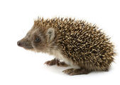 Hedgehog isolated — Stock Photo