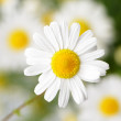 Wild chamomile with reflection in water. — Stock Photo #11724445