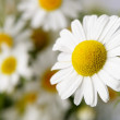 Wild chamomile with reflection in water. — Stock Photo