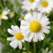 Wild chamomile with reflection in water. — Stock Photo #11724488