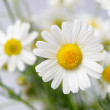 Wild chamomile with reflection in water. — Stock Photo #11724512