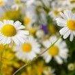 Wild chamomile with reflection in water. — Stock Photo #11724529