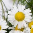 Wild chamomile with reflection in water. — Stock Photo #11724532