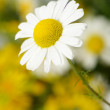 Wild chamomile with reflection in water. — Stock Photo #11724542