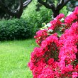 Colourful red azaleas — Stock Photo