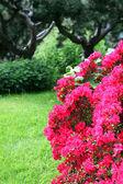 Bunte roten azaleen — Stockfoto