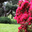 Red azaleas in full bloom — Stock Photo