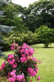 Magnifica esposizione di rose rampicanti — Foto Stock