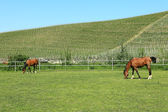 Horses on the pasture. Piedmont, Italy. — Stock Photo