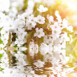Royalty-Free Stock Photo: Beautiful white flowers reflected in water