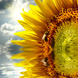 Close-up of sun flower on the sanset background reflecting in water — Stock Photo