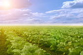 Vegetables growing on a field in summer — Stock Photo