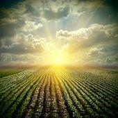Le champ de choux fine avec ciel — Photo