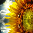 Close-up of sun flower on the sanset background — Stock Photo