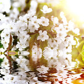 Beautiful white flowers reflected in water — Stock Photo