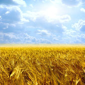 Beautiful yellow field and clouds sky — Stock Photo