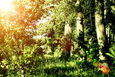 Green fores at sumer with sun — Stock Photo